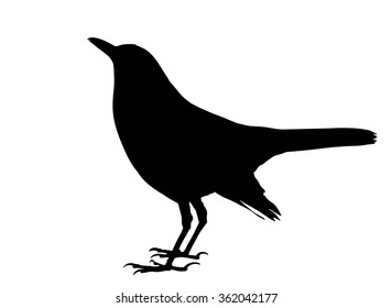 Vector silhouette of the Common Blackbird standing.