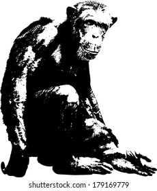 Vector silhouette of a Pygmy Chimpanzee, scientifically known as Pan Paniscus.
