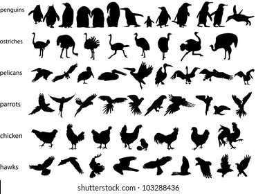 Vector silhouettes of penguins, ostriches, pelicans, parrots, chickens and hawks
