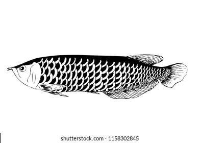 vector simple hand draw sketch arowana fish