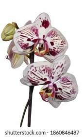 Vector of the single phalaenopsis orchid. Illustration of white and red orchid flower isolated on white background.