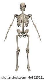 vector skeleton 3d realistic polygonal structure anatomy