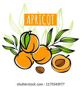 Vector sketch apricot fruit decorated with leaves. Hand drawn vector illustration for labels, restaurant menu, market label or package or another design