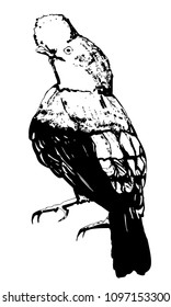 Vector sketch of cock of the rock bird. Andean cock with bob. Isolated illustration on white background. Back view