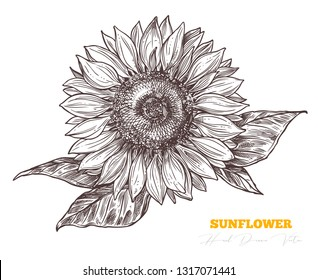 Vector sketch engraving sunflower isolated on white background. Floral vintage hand drawn style illustration. Honey flower drawing