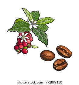 vector sketch hand drawn coffee tree branch with ripe berries, leaves and flowers and fried beans. Coffee plant image. Isolated illustration on a white background.