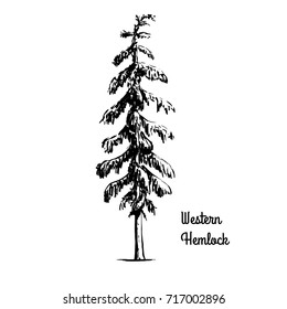 Vector sketch illustration. Black silhouette of Western Hemlock isolated on white background. Drawing of evergreen coniferous plant, Washington state tree.