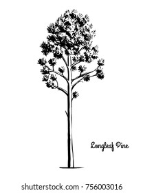 Vector sketch illustration. Black silhouette of Longleaf Pine isolated on white background. Drawing of evergreen coniferous plant, alabama and North Carolina state tree.