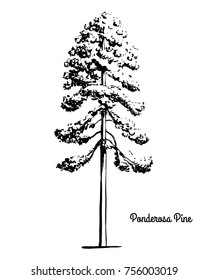 Vector sketch illustration. Black silhouette of Ponderosa, Bull, Blackjack Pine isolated on white background. Drawing of evergreen coniferous plant Western yellow-pine, Montana state tree.