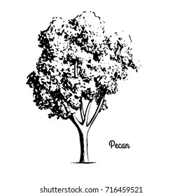 Vector sketch illustration of Pecan tree. Black silhouette of plant isolated on white background. Official state symbol of Texas. Native to Mexico.