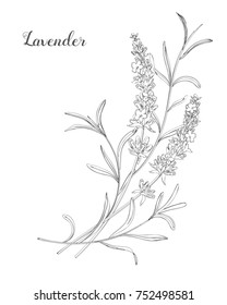 Vector sketch lavender illustration. Beautiful boquet of flowers.  Doodle, line art