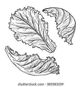 Vector sketch of lettuce isolated on a white, hand drawn illustration