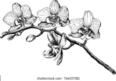Vector sketch of orchid flower