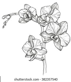 Vector sketch of Orchid flower blossom