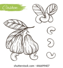 Vector sketch of the plant cashew isolated on a white background. Line silhouette handmade of nut