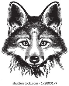 Vector sketch of a red fox's face