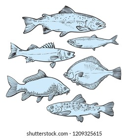 vector sketch sea fish collection. Hand drawn tuna, trout seabass, flounder or flatfish seafood delicacy, restaurant and marine cuisine cafe menu decoration design. Underwater ocean healthy food set
