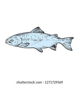 vector sketch sea trout fish. Hand drawn seafood delicacy, restaurant and marine cuisine cafe menu decoration design. Underwater ocean animal, healthy gourmet food.