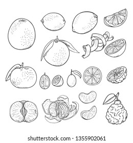 Vector Sketch Set of All Citrus Fruits. Lemon, Orange, Tangerine, Grapefruit, Lime, Kumquat and Bergamot