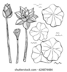Vector sketch set of flowers and leaves of the lotus. Bud and seeds. Aquatic plants.