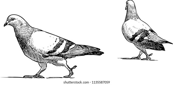 Vector sketch of urban pigeons going for a walk