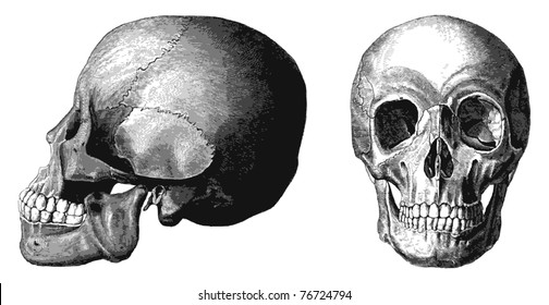 Vector skull from atlas published in 1851 (The iconographic encyclopedia of science, literature and art). Front and lateral view. Other engraved illustrations in my portfolio.