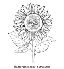 Vector stem with outline open Sunflower or Helianthus flower and leaves isolated on white background. Floral elements in contour style with ornate Sunflowers for summer design and coloring book.