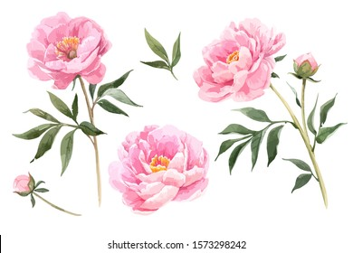 Vector stock flower illustration, Pink peony on a white background. Watercolor style