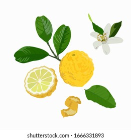 Vector stock illustration of a citron. Yellow sour citron fruit ripe cut into pieces with mint leaves. Lemon, lime, Mandarin, orange, citrus fruit and watercolor greens. Isolated on white background.