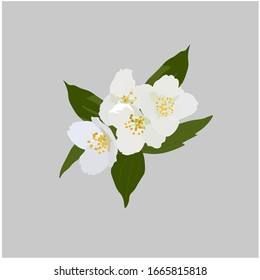 Vector stock illustration of Jasmine flowers. White Apple blossoms, cherry blossoms. Fragrant spring buds. Watercolor greens. For packaging tea and aromatherapy, perfumes. southern jasmine variety