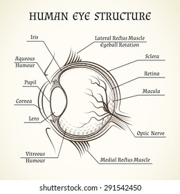 Human eye anatomy images stock photos vectors shutterstock vector structure of the human eye anatomy and medicine iris and pupil lens ccuart Image collections