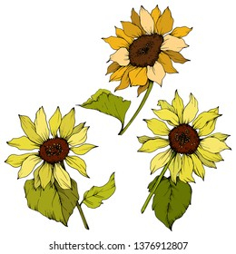 Vector Sunflower floral botanical flowers. Wild spring leaf wildflower isolated. Yellow and green engraved ink art. Isolated sunflower illustration element.