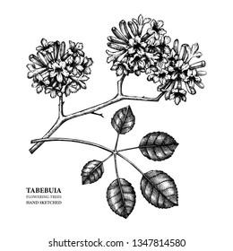 Vector Tabebuia (Pau D'arco) illustration. Hand drawn flowering tree sketch. Botanical design template. Vintage medical plant drawing.