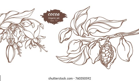 Vector template of cocoa tree branches with leaf, flower and bean. Botanical drawing. Simple sketch cacao, floral realistic set. Organic food. Illustration isolated on white background. Copy space