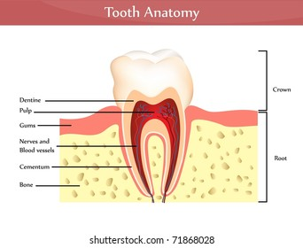 Vector tooth anatomy. Detailed diagram. Beautiful bright colors