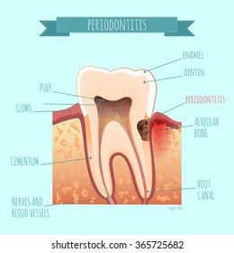 Vector tooth anatomy. Periodontists for your design