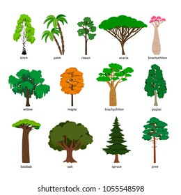 Vector trees. Forest tree set with titles, birch and oak, pine and baobab, acacia and spruce vector illustration isolated on white background