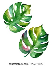 vector tropical leaf, monstera. watercolor illustration of an exotic plant.