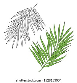 Vector tropical palm leaf, jungle leaves isolated on white background