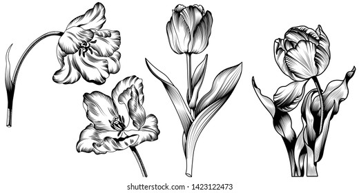Vector Tulip Black and white engraved ink art. Floral botanical flower. Wild spring leaf wildflower isolated. Isolated tulip illustration element.