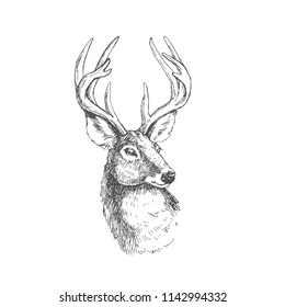 Vector vintage deer head in engraving style. Hand drawn illustration with animal portrait isolated on white.