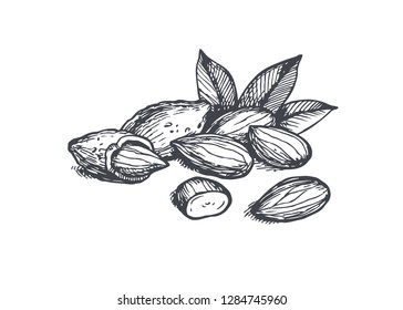 Vector vintage illustration of almond seeds in engraving style. Hand drawn sketch of full and half shelled nuts.