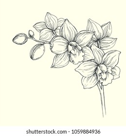 Vector vintage illustration of orchid branch isolated on white background. Hand drawn botanical illustration of tropical flowers. Floral sketch