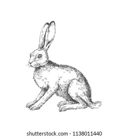 Vector vintage illustration of sitting hare isolated on white. Hand drawn rabbit in engraving style. Animal sketch.