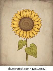 Vector vintage illustration of sunflower