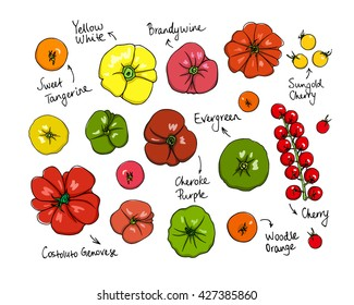 Vector visual guide of tomatoes varieties. Beautiful design elements, hand drawn ripe colorful tomatoes. Vegetarian, healthy food illustration.