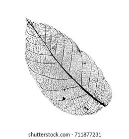 Vector Walnut Leaf Structure Skeletons with Veins
