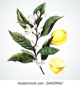 Vector watecolor Lemon. Botanical Illustration. Watercolor.  Vector illustration. Illustration for greeting cards, invitations, and other printing projects.