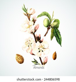 Vector watercolor Almonds. Botanical Illustration. Watercolor. Vector illustration. Illustration for greeting cards, invitations, and other printing projects.