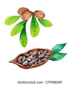 vector watercolor botanical  illustration of shea nuts and cocoa bean. detailed drawing of plants isolated on white.